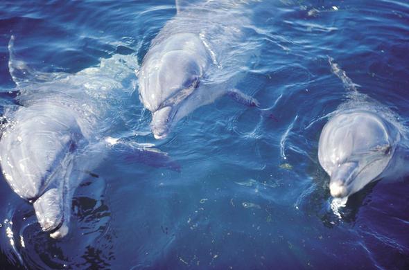dolphin coast goldfishka