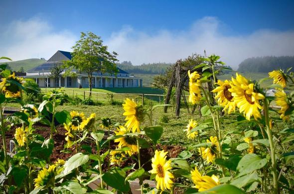 Beautiful sunflowers in the garden at Fordoun Hotel & Spa.
